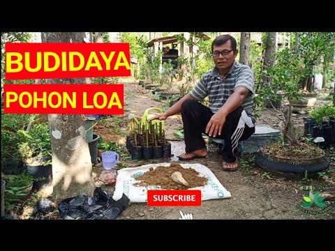 CARA stek batang POHON LOA DAN MEDIA TANAM