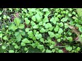 Miners lettuces.indian lettuce