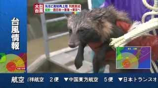 台風で増水した川にタヌキが転落する → 近隣住民が救助する 2014/10/13 徳島市