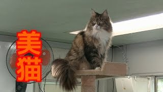 Norwegian Forest Cat Much videos are Now Showing in my channel. Ple...