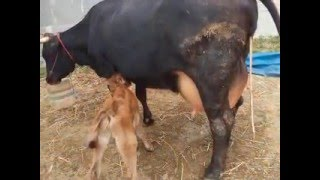BEST PLACE TO BUY HF,JERSEY COWS(SALE) IN TAMILNADU,KERALA- PH:07639299186