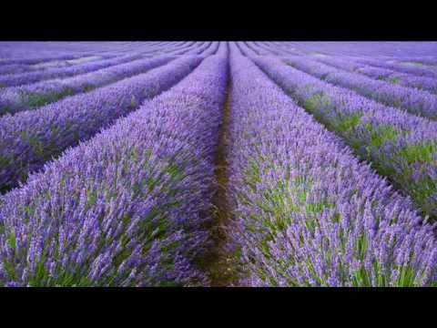 A focus on English Lavender: All you need to know about Lavandula angustifolia