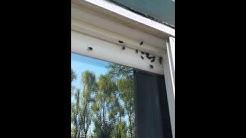 Boxelder Bug & Stink Bug Infestation.  Oregon.