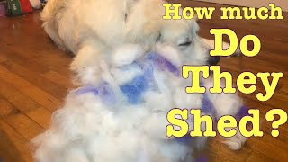 How much do Great Pyrenees shed