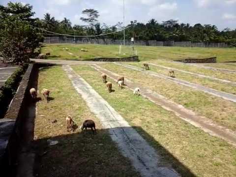 Cara ternak kambing 4 ekor dilepas berkembang lebih pesat