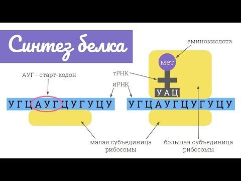 Синтез белка: трансляция   самое простое объяснение