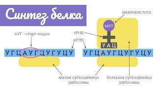 Синтез белка: трансляция | самое простое объяснение
