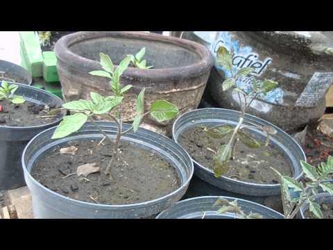 Tomates, tomatillo, pimientos y berenjenas en macetero. Huerto Urbano. Poda del tomate y evolución.