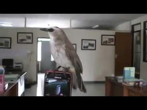Kicau Burung Trucukan Mantap