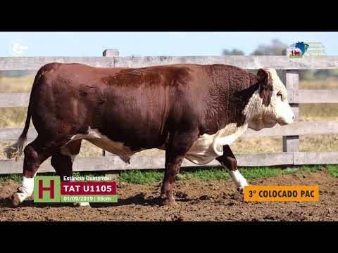 Touro U1105 - Estância Guatambu