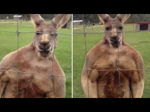 Buffed Flexing Kangaroo Ready To Beat The Brakes Off Taunting Spectators