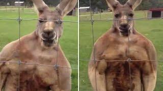 This buff kangaroo looks like it's on steroids!