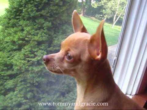 Chihuahua Thinks He's a Doberman