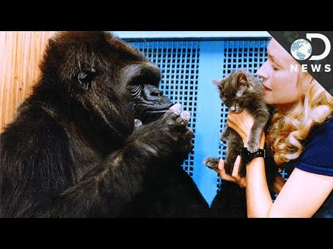 Who Is Koko The Gorilla & Is She Really That Smart?
