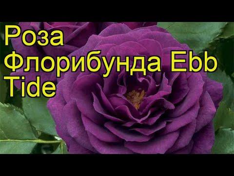 Роза флорибунда (Ebb Tide). Краткий обзор, описание характеристик, где купить саженцы