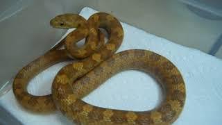 funniest snake feeding video ever baby wannabe cobras lol !!!!