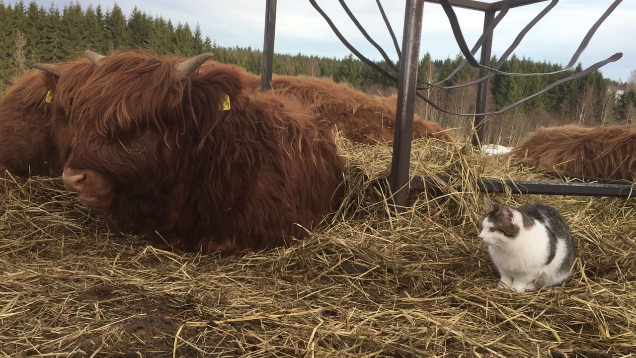 scottish highland cattle in finland fluffy cows and their cat