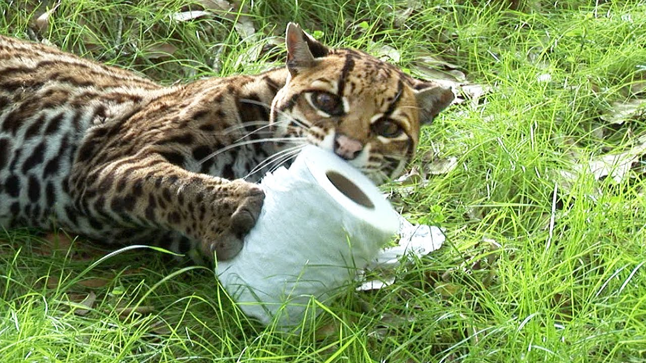 What Do Big Cats Eat In The Wild