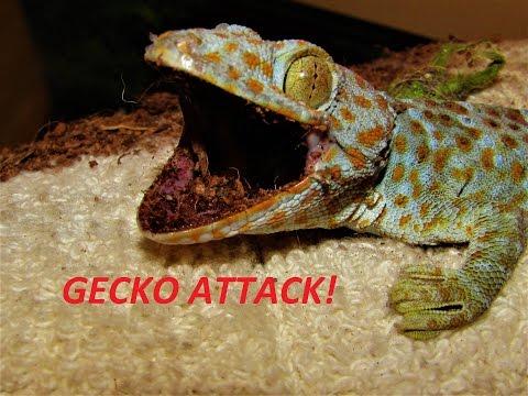 Tokay Gecko Handling