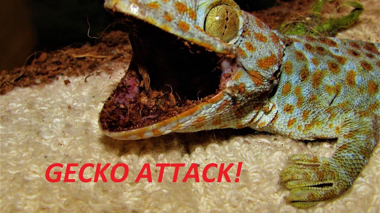 tokay gecko handling youtube