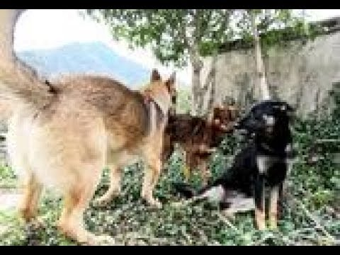 """没想到上山挖竹笋回来,母狗意外发情,2公狗""""抓心挠肝""""急死了"""