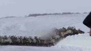 Incredible Video of 3000 Reindeer Crossing Arctic Ice Road