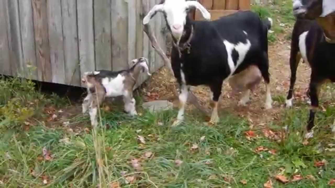 Beau Goat Farming In A PA Backyard