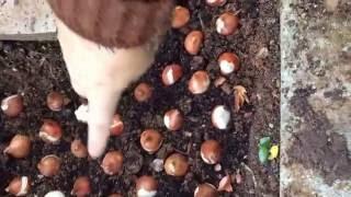 Bahçemdeyiz toprağa (bahçeye) lale ekimi