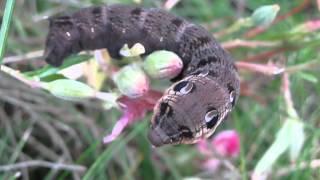 Baixar Caterpillar