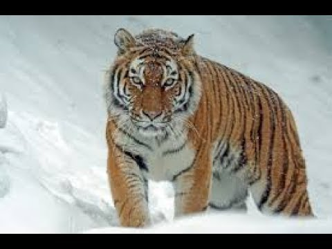 400kg+ Siberian Tigers!!! Biggest Cat To Ever Exist Living Today!!!