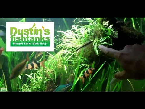how-to-trim-aquarium-plants:-jungle-val-and-java-ferns
