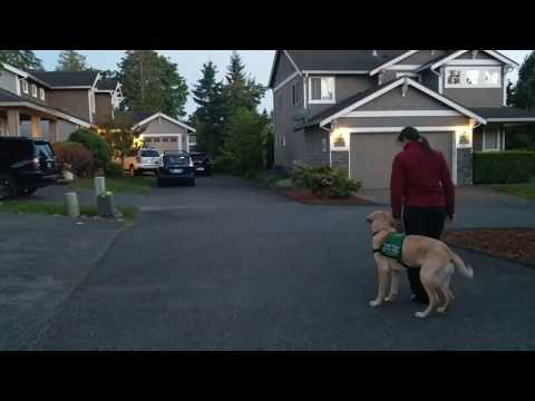 """Positive reinforcement obedience proofing with GDB puppy """"Limerick"""""""