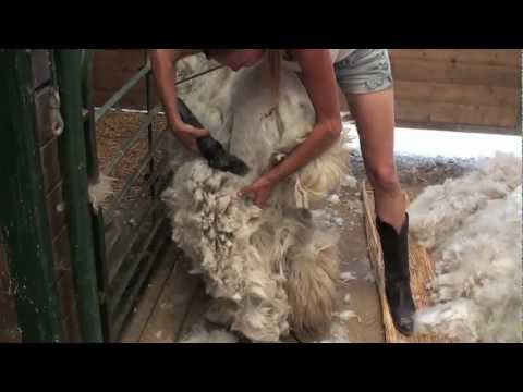 Shearing an Alpaca Without Help