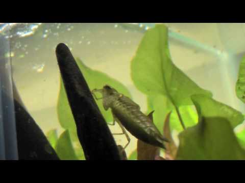 Natural Predators Of Mosquito Larvae