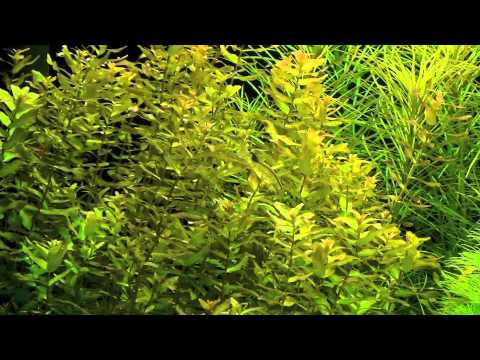 rotala macrandra quotgreenquot youtube
