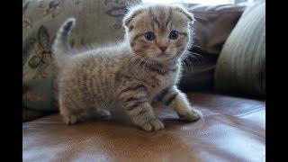 Scottish Fold - Giống mèo tai cụp đáng yêu