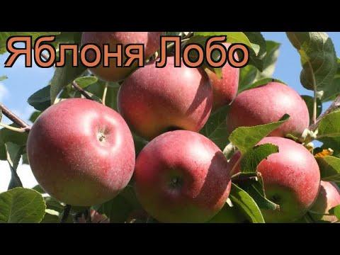 Яблоня обыкновенная Лобо (malus lobo) 🌿 яблоня Лобо обзор: как сажать саженцы яблони Лобо