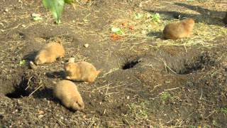 prairie dog (Луговые собачки)(, 2013-10-21T14:14:43.000Z)