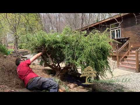 Trimming a Tsuga canadensis 'Pendula' Weeping Hemlock in Connecticut