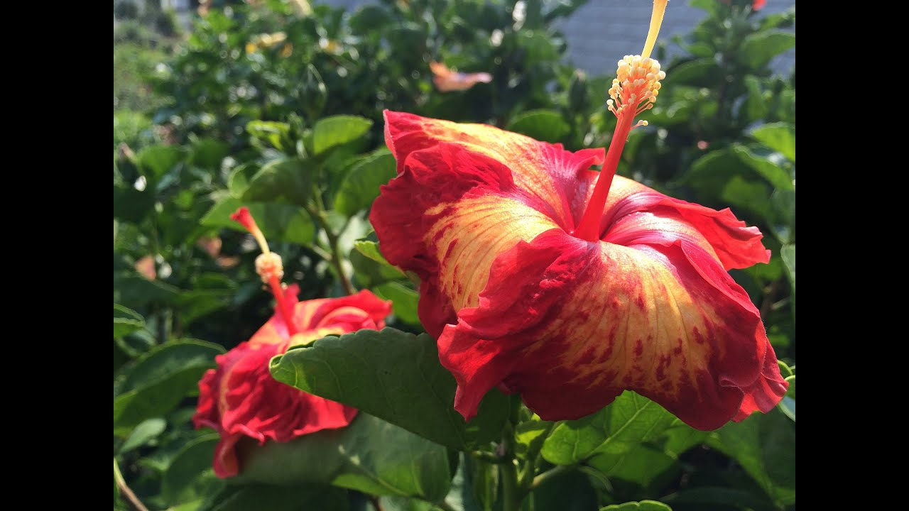 Pruning hibiscus youtube izmirmasajfo Gallery