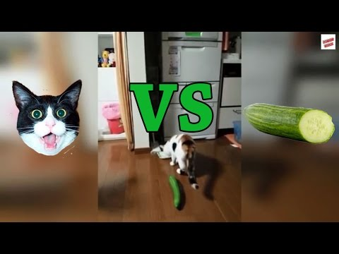 Cats vs Cucumbers Compilation