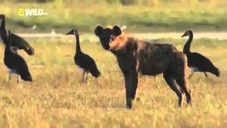 Animal Planet 2015 | Hyena - Discovery Channel, Wildlife Animals Documentary 720p HD