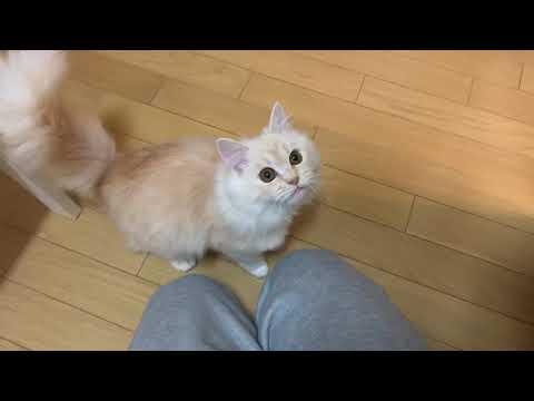 飼い主にむかって鳴いてみる子猫。