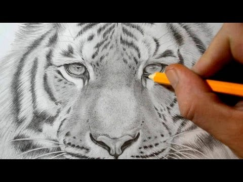 how-to-draw-a-tiger---realistic-pencil-drawing