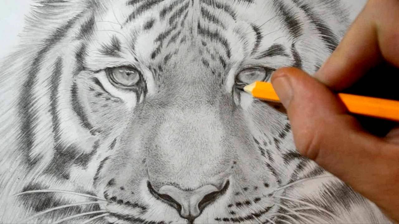 How to draw a tiger realistic pencil drawing youtube