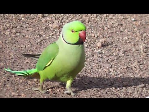 Feral Indian Ringneck Parrot Problem  (⌒▽⌒)
