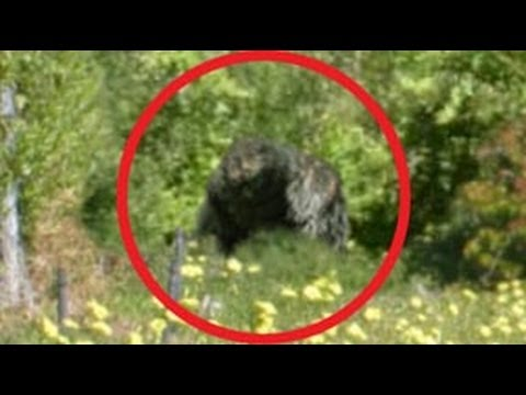 bigfoot sightings in america draws mass hysteria Bigfoot essay examples  the characteristics of bigfoot, a mythical creature  bigfoot sightings in america draws mass hysteria 1,322 words.