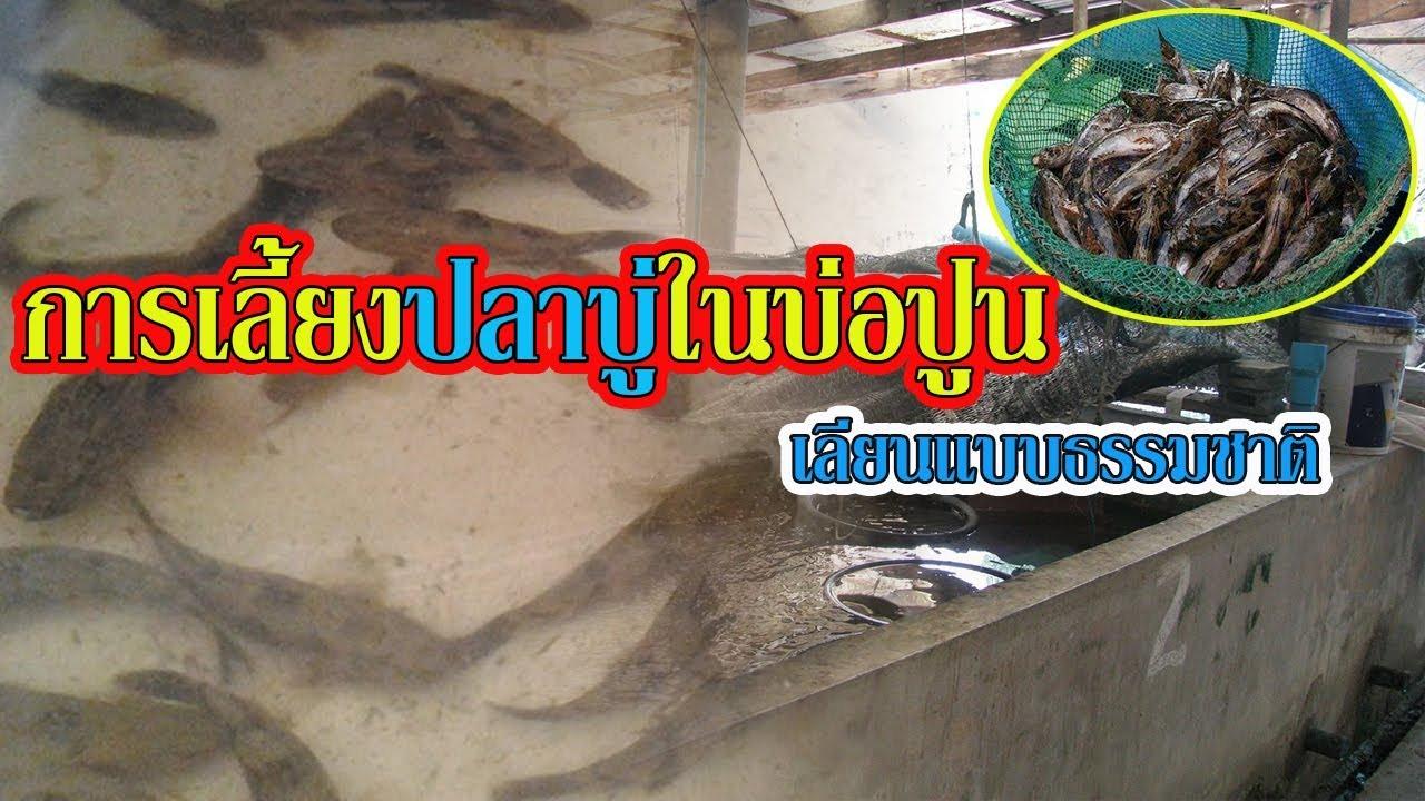 การเลี้ยงปลาบู่ในบ่อปูน | เลียนแบบธรรมชาติ |
