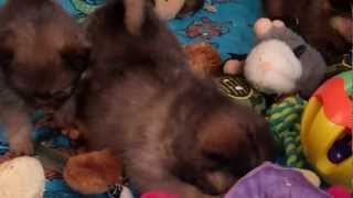 Pekingese And Pomeranian Mixed Puppies For Sale In Central Pa