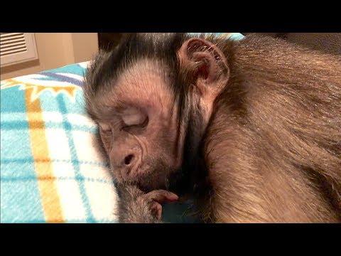 Capuchin Monkey Says Good Night